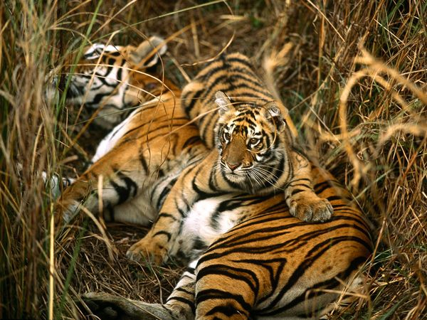A mother Bengal tiger and her cub rest in the tall grass of a meadow. Tiger cubs remain with their mothers for two to three years before dispersing to find their own territory. Photography by Michael Nichols.