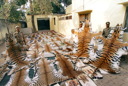 Tiger Poaching Ring Busted by