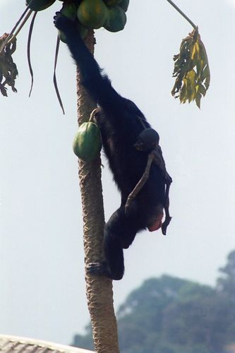 Chimpanzee mothers carry their mummified dead infants