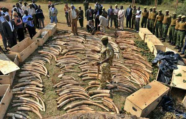 Wildlife officers seized 2 tons of elephant ivory and five rhino horns at Kenya's main airport that were to be illegally shipped to Malaysia