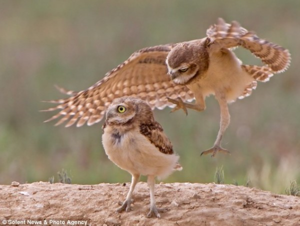 He's behind you: In another frame the cheeky burrowing owl creeps up behind his sibling