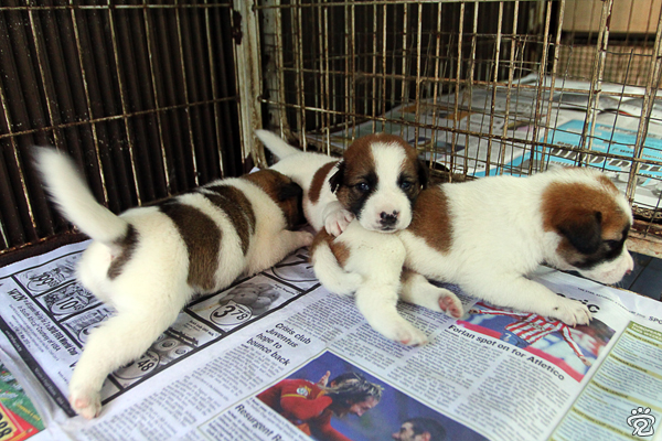 three white with brown spots puppies for adoption