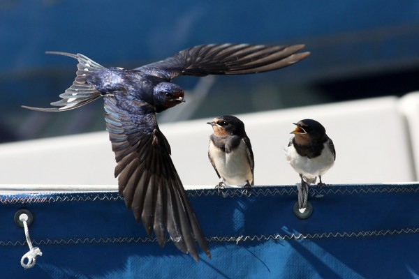 swallows (photo from www.permuted.org.uk)
