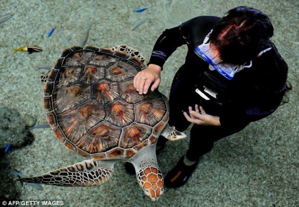 Restored to health: Sea Biscuit swims past handler Marina Tsamoulos in the tropical reef aquarium at Oceanworld Manly, north of Sydney