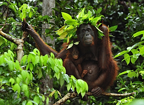 Leaf shelter: Mummy orangutan protects baby from the rain