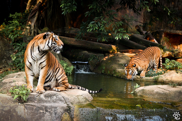 save tigers (tigers in the Zoo of Melaka)