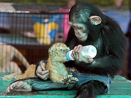 Chimp lovingly feeds tiger cub with baby bottle (1/2)