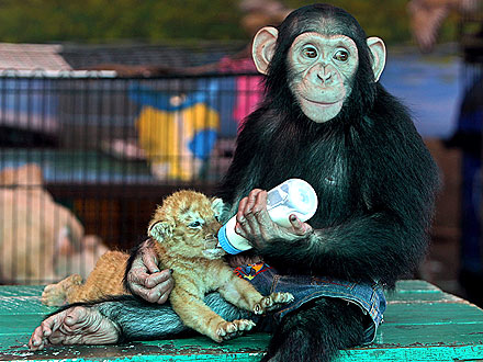 Chimp lovingly feeds tiger cub with baby bottle (2/2)