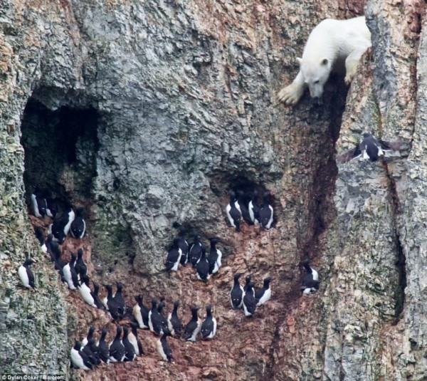 What are you doing here?! The bear approches nesting Brunnich's Guillemots, whose eggs he hoped to scavange