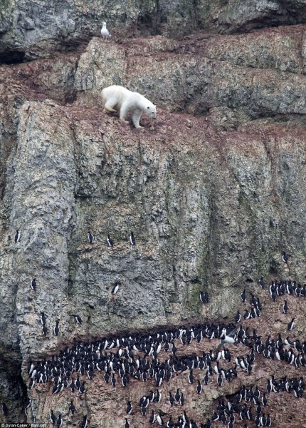 Gone again: The birds raced down the cliff every time the polar bear ventured further down. A quizzical seagull watches from above the bulky beast