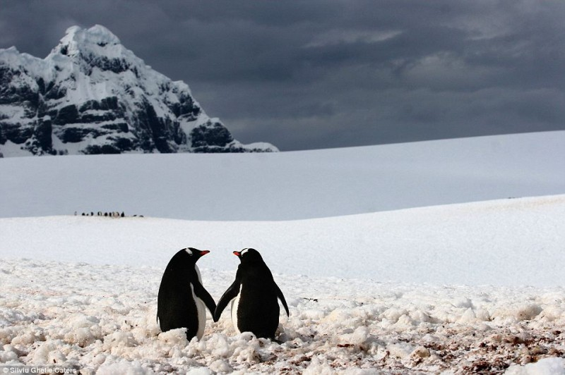 Just the two of us: This romantic pair of penguins hold hands as their buddies congregate in the distance in Port Lockroy, a natural harbour in the Antarctic Peninsula (photo by Silviu Ghetie)