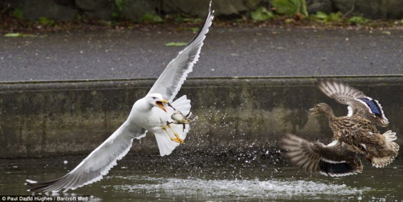 Foiled: The seagull scoops the chick out of the water, but drops it when the mother swoops in