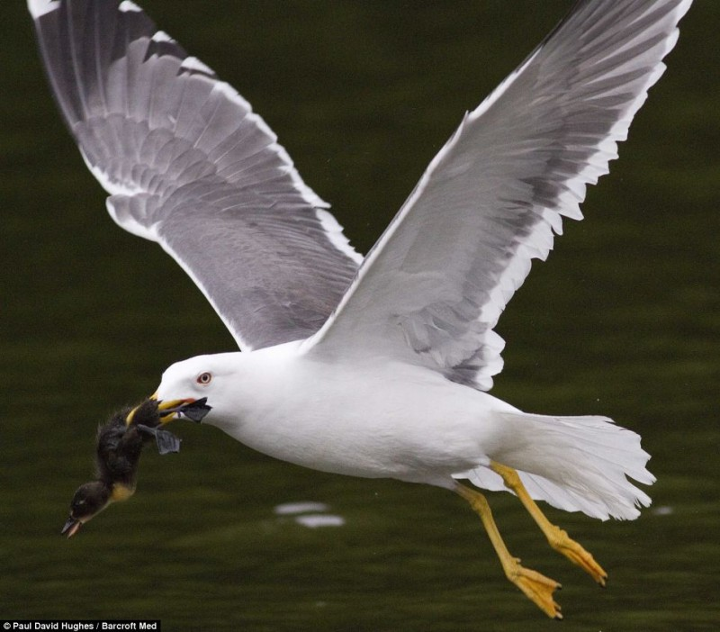 Murder most fowl: The seagull successfully securing a first course