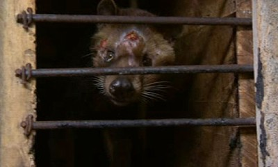 The civets are almost exclusively fed coffee berries, which they then excrete. This image was taken on a civet farm just outside Surabaya, Indonesia. Photograph: guardian.co.uk