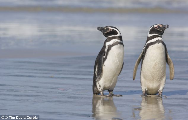 Faithful: New research shows how a pair of Magellanic penguins were loyal to each other for 16 years