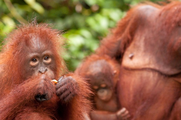 Orangutan family in Tanjung Puting National Park, Kalimantan, Borneo. (image: Russ Watkins (Flickr CC))
