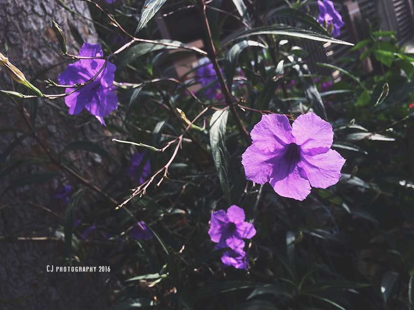 Purple flowers (iPhonegraphy)